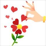 Schätzen auf den Blumenblättern Die Hand einer Frau hebt die Herzblumenblätter an Stockfoto