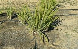 Schénanthe sur l'irrigation par égouttement images stock