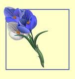 Schön auf einem hellen Hintergrund auf Weiß für eine Karte, ein Fahnenblumenkrokus stockfoto