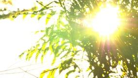 Schön aus Fokussonnenuntergang heraus Sun-Glanz gründlich der Schlag auf Windbaumblättern stock video