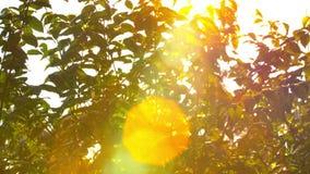 Schön aus Fokussonnenuntergang heraus Sun-Glanz gründlich der Schlag auf Windbaumblättern stock video footage