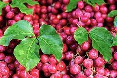 Schön ausgebreitete Weintrauben mit Blättern Der schöne Hintergrund Lizenzfreie Stockfotos