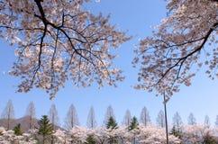 Schön blühende Kirsche in Südkorea stockfoto