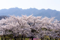 Schön blühende Kirsche in Südkorea lizenzfreies stockfoto