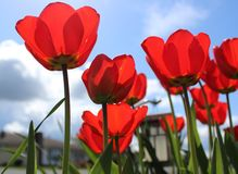 Schön blühende rote Tulpen mit blauem Himmel des Frühlinges Stockbilder
