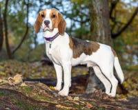 Schön, Brown und weißer Spürhund-Hundewelpe Stockbild