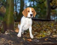 Schön, Brown und weißer Spürhund-Hundewelpe Stockfotos