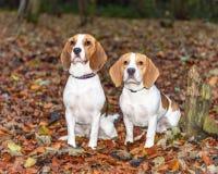 Schön, Brown und weißer Spürhund-Hundewelpe Lizenzfreie Stockbilder