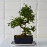 Schön dekorativer Bonsaibaum in einem blauen keramischen Topf stockfotos