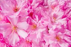 Schön Kirschrosa Blumen des Japaners Lizenzfreies Stockbild
