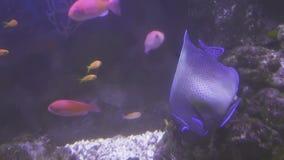 Schön Marine Aquarium mit buntem Fischbestandgesamtlängenvideo stock video footage