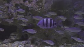 Schön Marine Aquarium mit silbrigem Fischbestandgesamtlängenvideo stock video footage