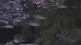 Schön Marine Aquarium mit silbrigem Fischbestandgesamtlängenvideo stock footage