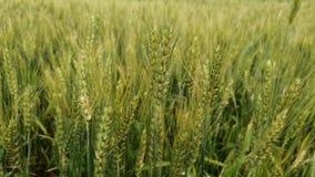 Schön, ruhig, Weizenernte Feld mit dem Sausen stock video