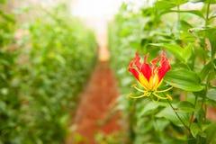 Schön und giftig Kappenblüte I der kletternden Lilie oder Turk's lizenzfreie stockfotos