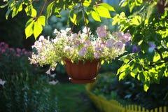 Schön verzierter hängender Korb des Gartens von rosa Blumen beleuchtete leicht durch die Sonne lizenzfreie stockbilder