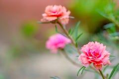 Schön von Blume Portulaca-oleracea in der Natur vektor abbildung