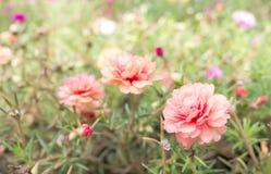 Schön von 3 Blumen Portulaca-oleracea in der Natur lizenzfreie stockfotos