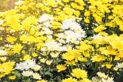 Schön von den Chrysanthemen blüht draußen, Gänseblümchen im agri Stockfotos