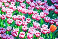 Schön von Tulip Flowers Stockfoto