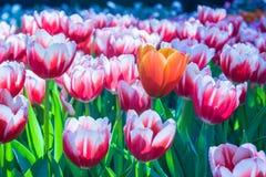 Schön von Tulip Flowers Stockfotografie