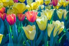Schön von Tulip Flowers Lizenzfreies Stockfoto