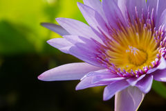 Schön waterlily, Lotos in der Natur Stockfoto