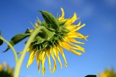 Schöne Abbildung Sonnenblume, rückseitige Ansicht Lizenzfreies Stockfoto