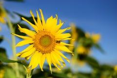 Schöne Abbildung Sonnenblume, unscharfer Hintergrund Stockfotografie