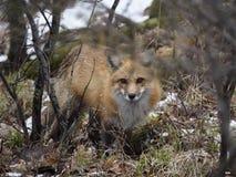 Schöne, aber vorsichtige roter Fox-Jagd stockfotografie