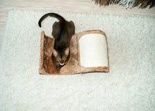 Schöne abyssinische Katze, die auf einem verkratzenden Beitrag liegt stockfotografie
