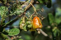 Schöne Acajounüsse und Acajoubaum fruti wachsen auf einem Biohof in Kambodscha Lizenzfreies Stockbild