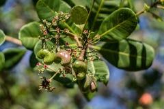 Schöne Acajounüsse und Acajoubaumblumen wachsen auf einem Biohof in Kambodscha Lizenzfreie Stockfotografie