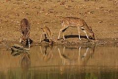 Schöne Achsenrotwild im Naturlebensraum in Indien Stockfotos