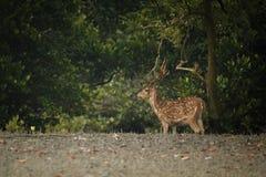 Schöne Achsenrotwild von der Sundarbans-Tigerreserve in Indien Lizenzfreie Stockfotografie