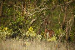 Schöne Achsenrotwild von der Sundarbans-Tigerreserve in Indien Stockbild