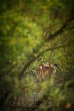 Schöne Achsenrotwild von der Sundarbans-Tigerreserve in Indien Lizenzfreies Stockfoto
