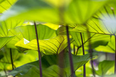 Schöne Adern des Wasserbrotwurzelblattes, Stockfotografie