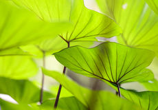 Schöne Adern des Wasserbrotwurzelblattes, Lizenzfreie Stockfotografie