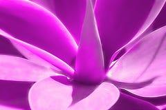 Schöne afrikanische Blume Purpule an einem sonnigen Tag stockfotos