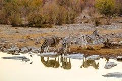 Schöne afrikanische Landschaft mit Zebras bei Sonnenuntergang Lizenzfreie Stockfotos