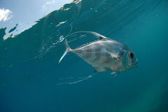 Schöne afrikanische Pompanofischschwimmen im Ozean Stockbild