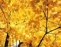 Schöne Ahornbäume in den hellen Blättern des goldenen Herbstes gegen Stockfotos