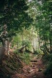 Schöne alte Bäume und Wurzeln mit Moos- und Farnblättern im Holz Stockfotografie