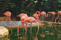 Schöne amerikanische Flamingos in der Gefangenschaft Stockbild