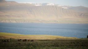 Schöne Ansicht der Herde der Pferde, die auf dem Feld, das Gras essend weiden lassen Wilde isländische Pferde auf der Natur stock video