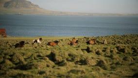 Schöne Ansicht der Nordnatur Die Herde von den wilden isländischen Pferden, die in Galopp durch das Feld laufen stock video