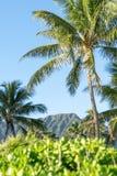Schöne Ansicht von Anlagen, von Palmen und von Gebirgszug auf Waimanalo-Strand, Ost-Oahu, Hawaii, USA Waimanalos lange Strände si stockfotos