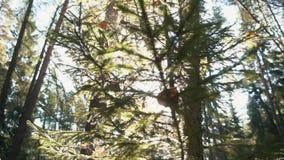 Schöne Ansicht von den durch Netz abgedeckten und getrockneten Tannen- und Kieferniederlassungen verlässt im Wald gegen hellblaue stock video