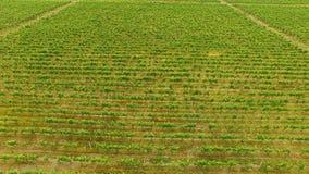 Schöne Ansicht von grünen Traubenreihen, im Garten arbeitend und bewirtschaften, nette Vogelperspektive stock video footage